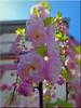 Mandelblüte - almond blossom