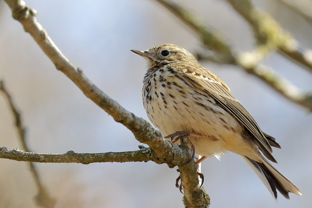 Tree pipit (Anthus trivialis) or Meadow