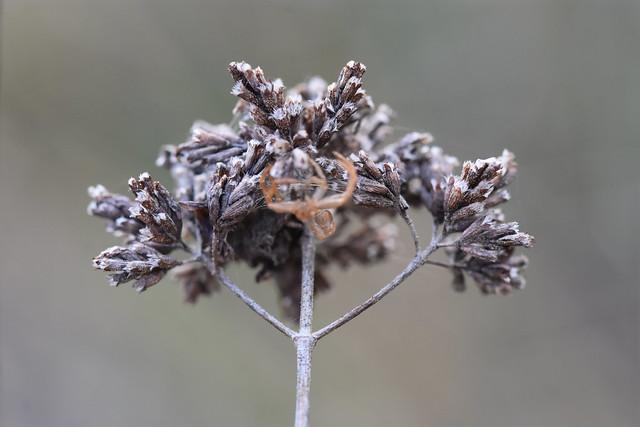Muda de Agalenatea redii sobre orégano seco