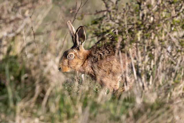 Hare (Lepus europaeus)
