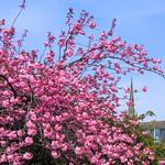 Pink blossom around Preston