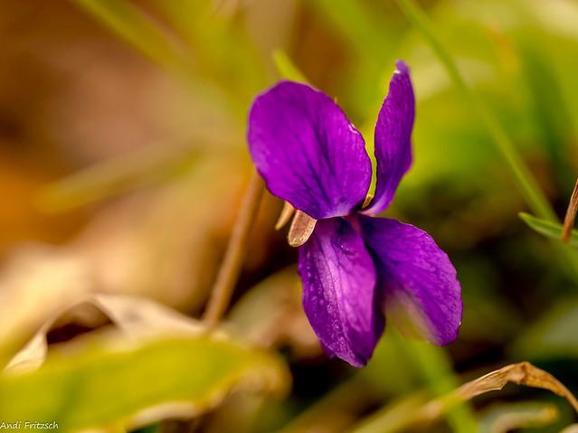 Die Hornfeilchen blühen