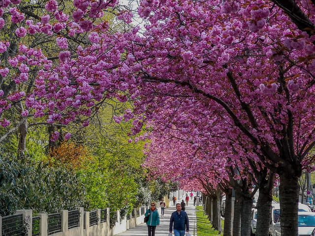 A walk along the Cherry Blossom trees in springtime.