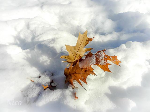 Leaf in the snow  DSC05541 Feuille dans la neige