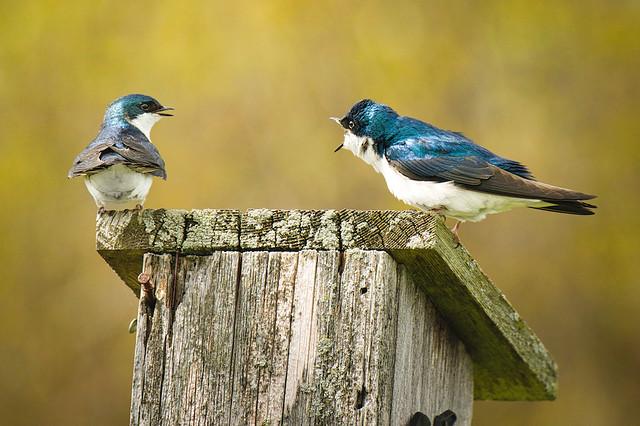 Yelling Match:  Tree Swallows