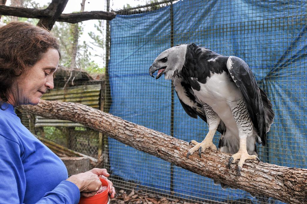 2010-12-24 TBZ-1280 Sharon Matola feeding Panama, Harpy Eagle