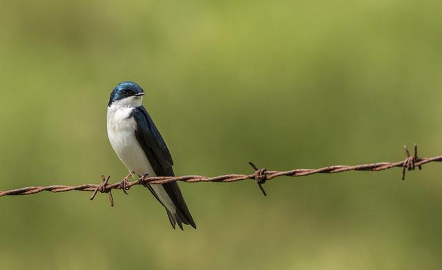 Tree Swallow....