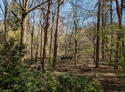 horses, Balbirnie woodland, Fife