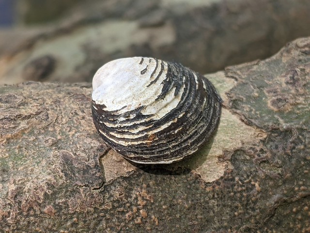 Corbicula fluminea, Elsie A. Holmes Nature Park, Catoosa County, Georgia