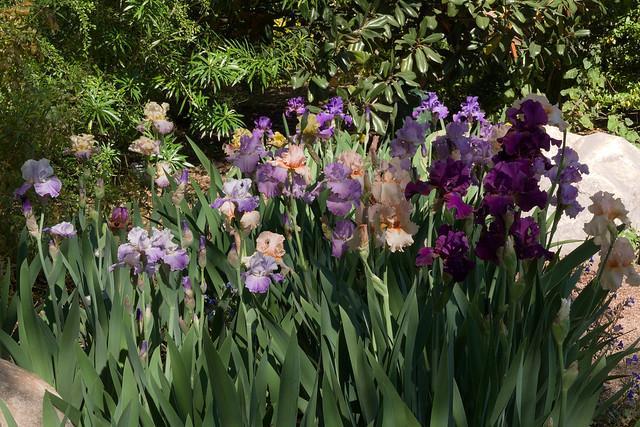 Iris garden at Tucson Botanical Gardens in full bloom