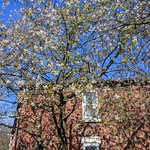 Tree blossom in Ashton-on-Ribble