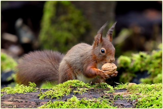 Écureuil roux ( Sciurius vulgaris - Red Squirrel )