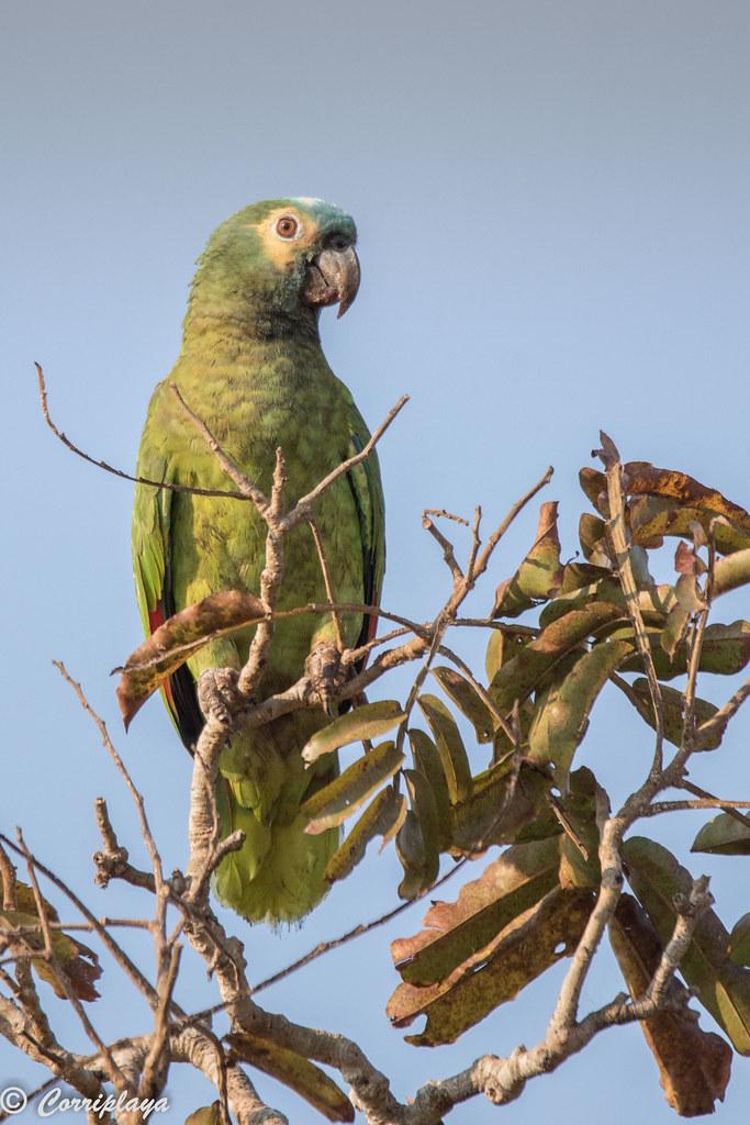 Amazona frentiazul, Amazona aestiva, Turquoise-fronted Amazon