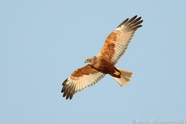 Marsh Harrier in flight 142871