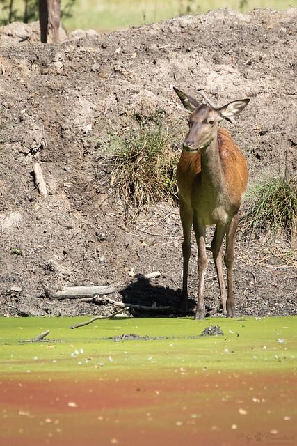 Red deer doe standing by the water