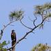 Flickr photo 'Bald Eagle (Haliaeetus leucocephalus) newly fledged' by: Mary Keim.