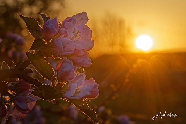 Levé de soleil sur pommier en fleurs
