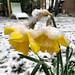 Narcis in de sneeuw