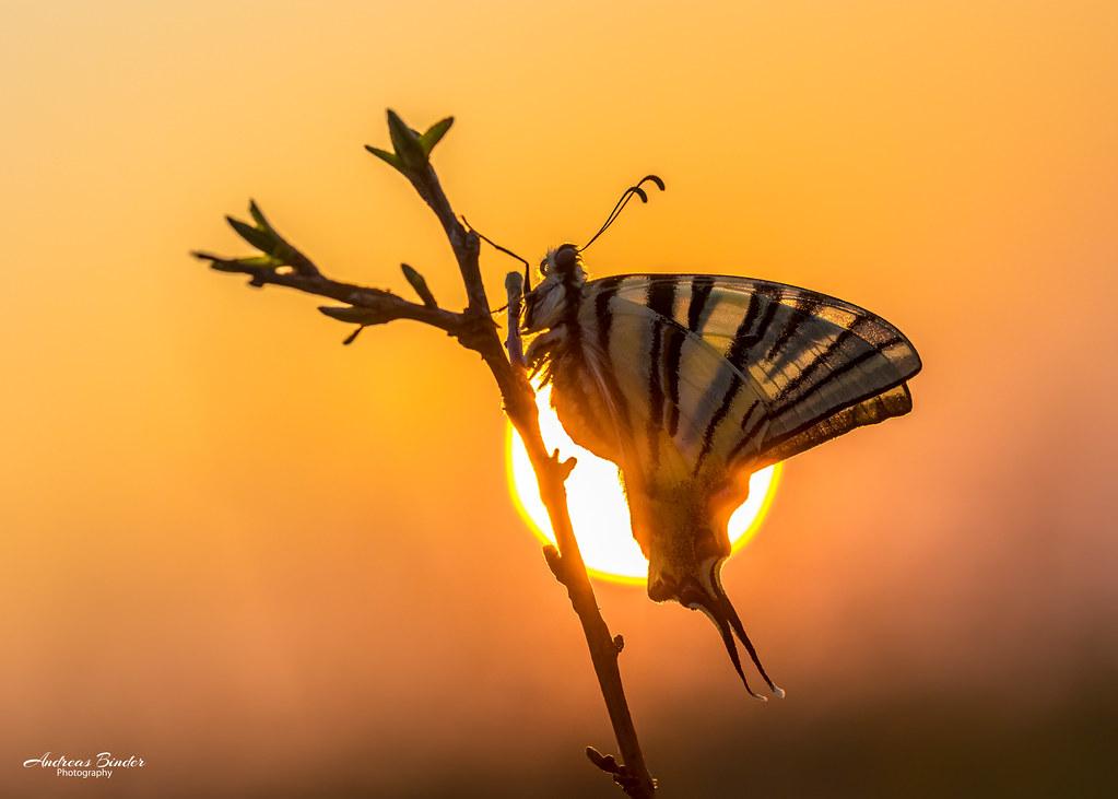 Segelfalter mit der aufgehenden Sonne