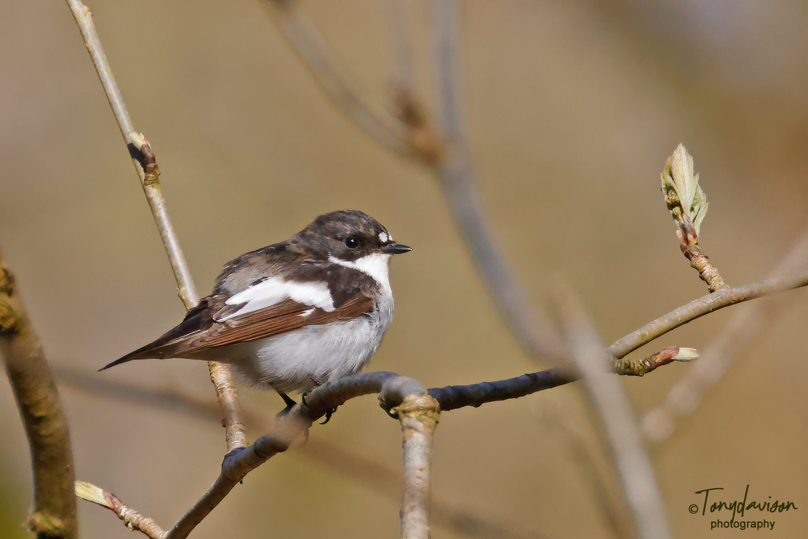Pied Flycatcher - male