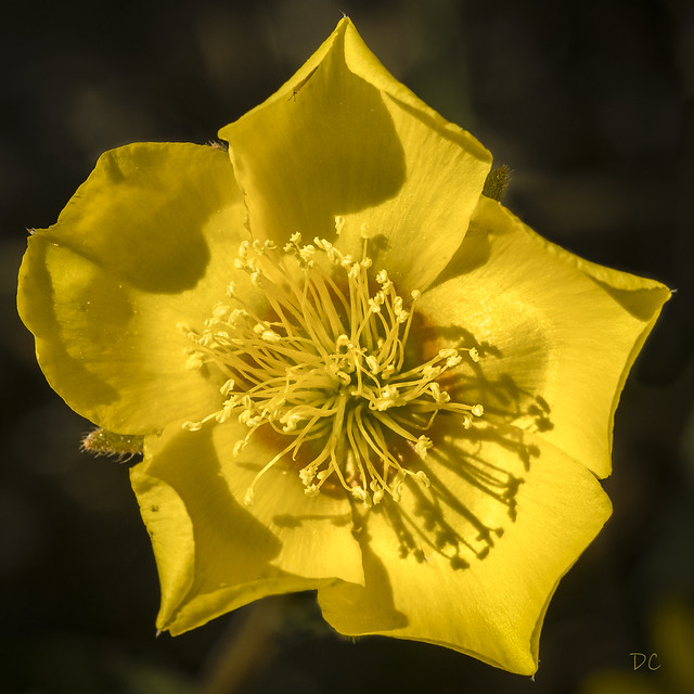 Blazing star (Menzelia grazilenta)