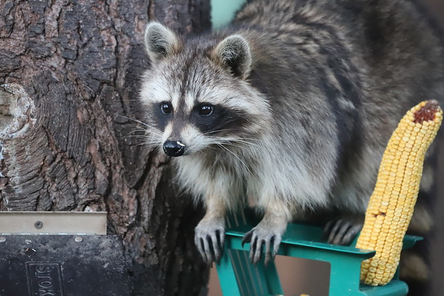 Daytime Raccoons (Ypsilanti, Michigan) - 112/2021 315/P365Year13 4698/P365all-time (April 22, 2021)