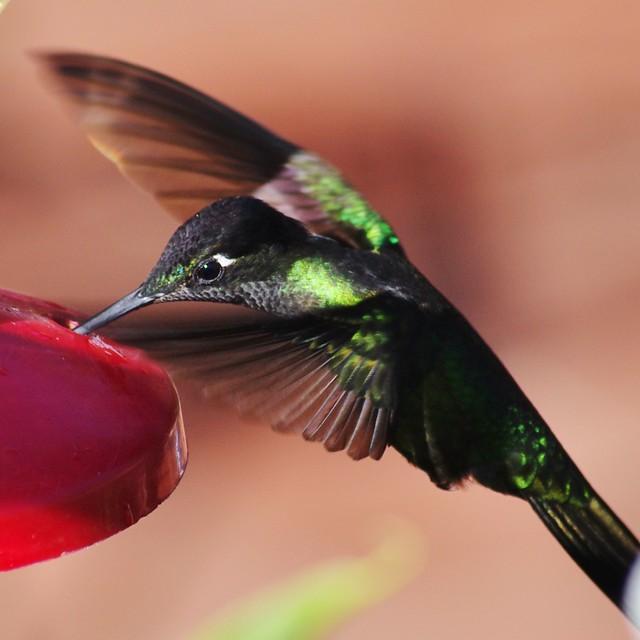 Male Talamanca Hummingbird (Eugenes spectabilis)