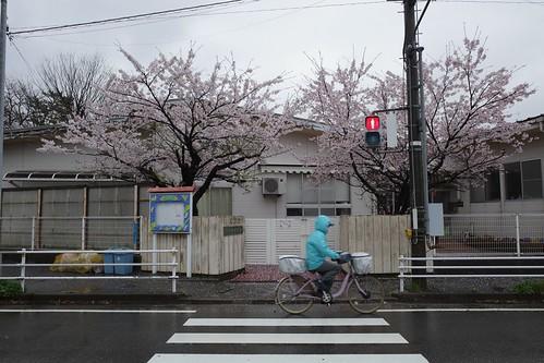 内野の桜 2021 3