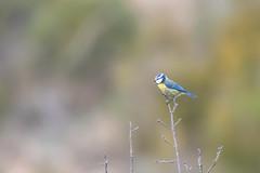 Mésange Bleue - Blue Tit - Cyanistes caeruleus