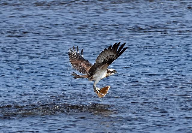 Osprey + Fish