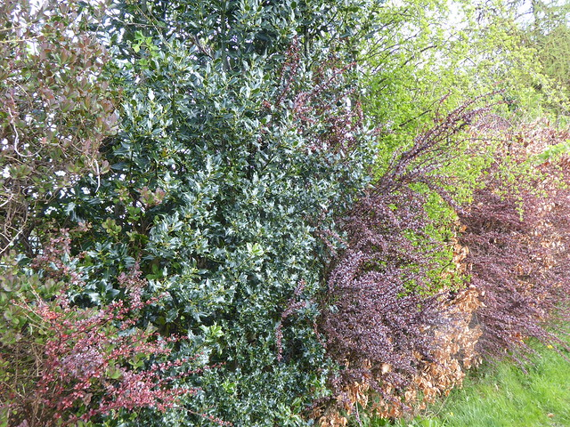 Hedge at Midmar