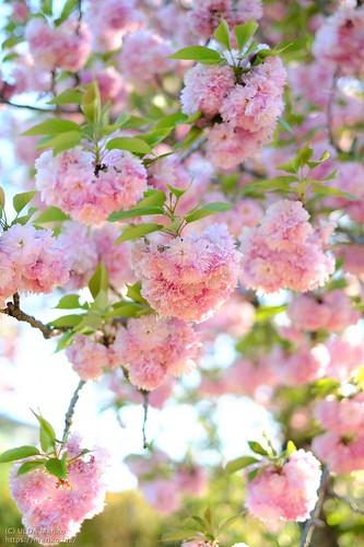 八重桜 20210421-DSCT9280 (2)