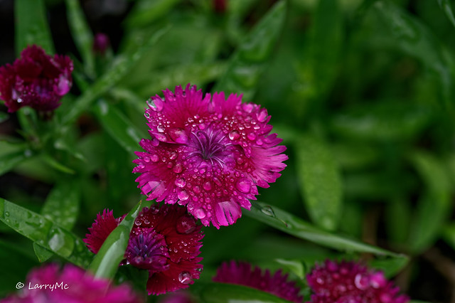 Dew Drops on a Dianthus blossom