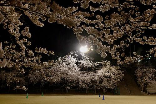 内野の夜桜 2021