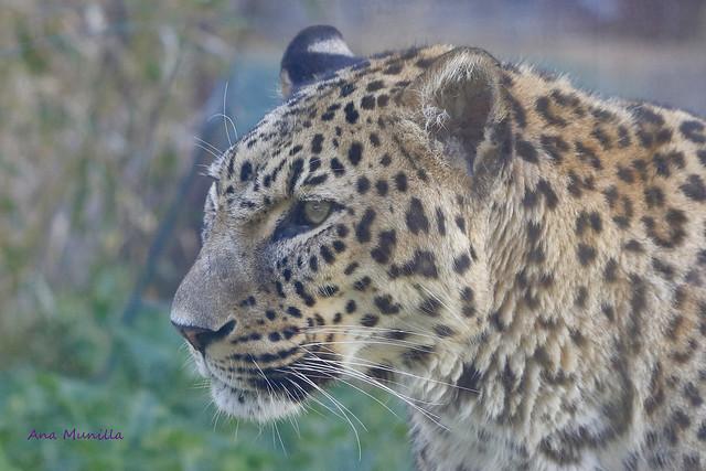 Leopardo IMG_5016 Explore! .April 24, 2021