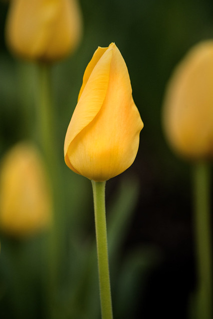 Yellow Tulip 3-0 F LR 4-16-21 J139