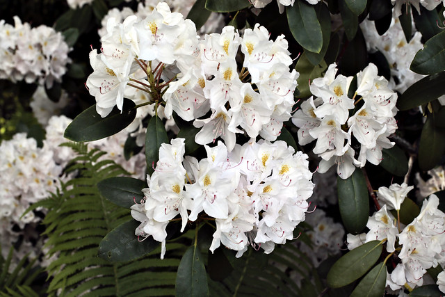 White Rhododentron