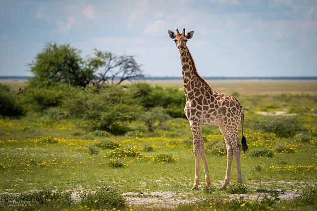 Giraffe - Etosha National Park (Namibia)