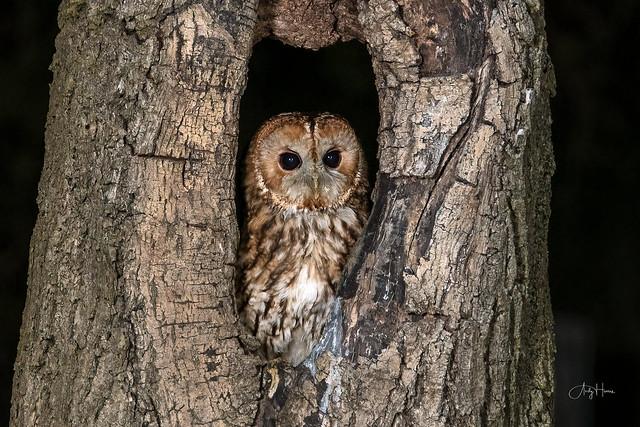 Tawny Owl in tree hole