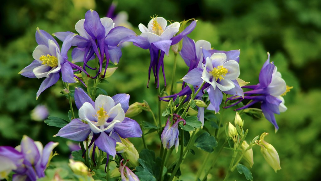 Aquilegia caerulea Songbird Blue Jay -  Columbine