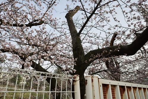 内野の桜 2021