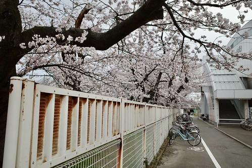 内野の桜 2021 2