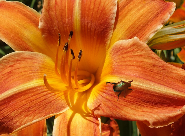Beetle on a Tiger Lily