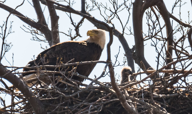 In case you were wondering - the eaglets have arrived...