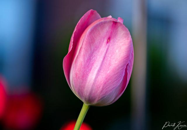 Pink Tulip...