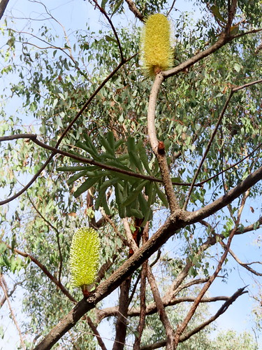 7 - Banksia flowers - Mick Webster