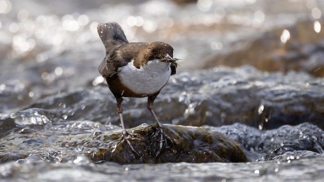 Dipper just out of the water