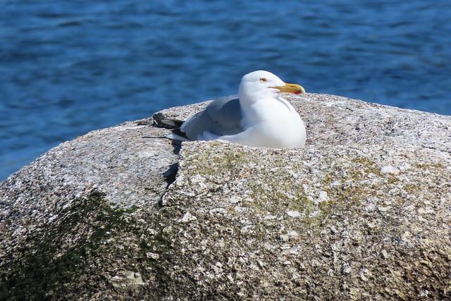 Herring Gull, Basking in the Sun