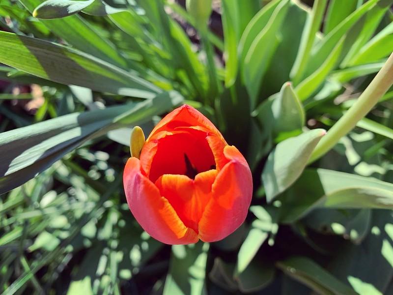 An orange tulip just beginning to bloom