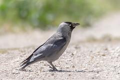 Choucas des Tours - Western Jackdaw - Corvus monedula